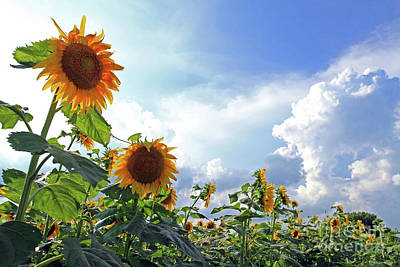 Photograph - Sunflowers With Sun And Clouds 4 by Paula Guttilla