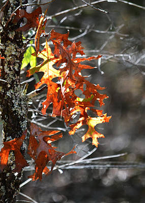 Photograph - Sunglow Through Oak Leaves by rd Erickson