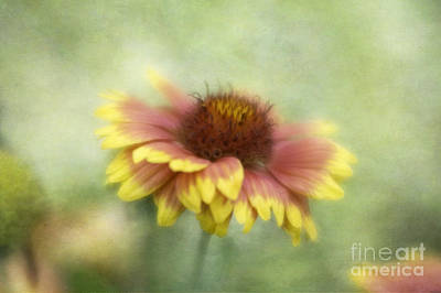 Sunkissed Art Print by Cindy McDonald