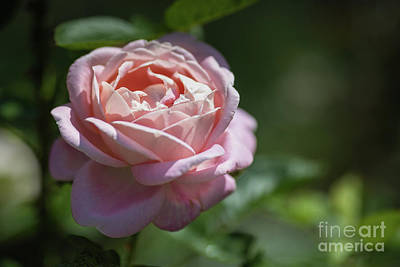 Photograph - Sunkissed Pretty In Pink by Eva Lechner