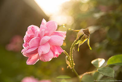 Photograph - Sunkissed Rose by Teresa Blanton