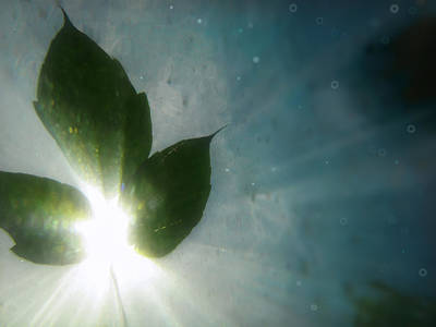 Photograph - Sunleaf No. 1 by Tammy Wetzel