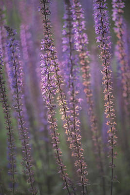 Photograph - Sunlight On Lavender by Jacqui Boonstra