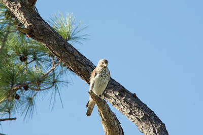Photograph - Sunlight Bathed Hawk by William Tasker