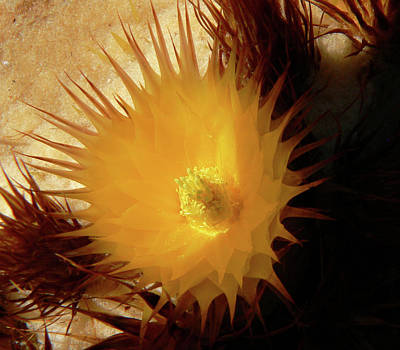 Photograph - Sunlight Cactus by Rosalie Scanlon