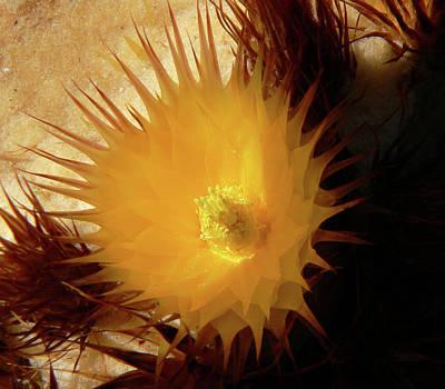 Photograph - Sunlight Cactus by Rosalie Scanlon