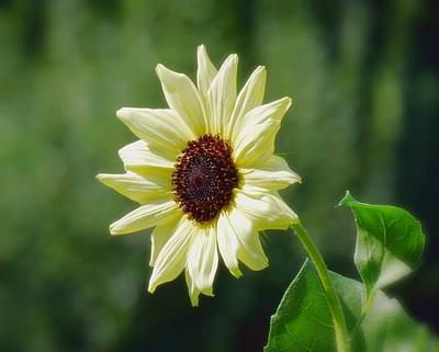 Photograph - Sunlight Flower And Leaves - Sunflower by MTBobbins Photography