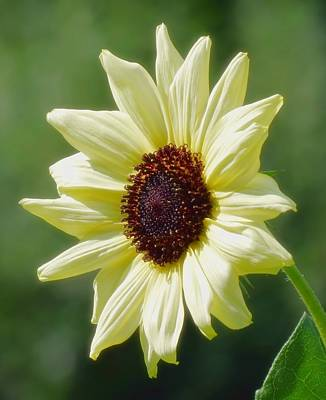 Photograph - Sunlight Flower - Sunflower by MTBobbins Photography
