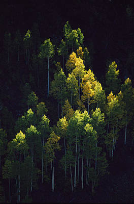 Light And Dark Photograph - Sunlight Highlights Aspen Trees by Melissa Farlow