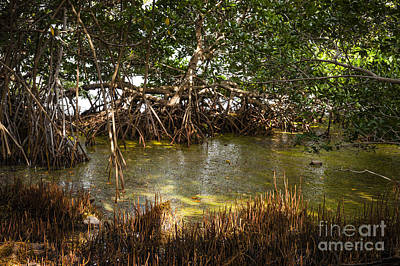 Sunlight In Mangrove Forest Art Print by Elena Elisseeva