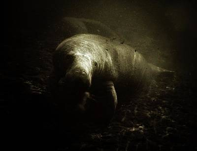 Photograph - Sunlight Manatee by Sheri McLeroy
