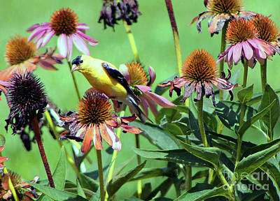 Photograph - Sunlight On An American Gold Finch by Dan De Ment