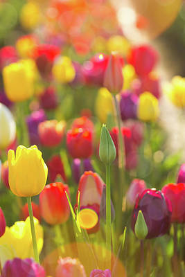 Photograph - Sunlight On Fields Of Tulips Flowers by David Gn