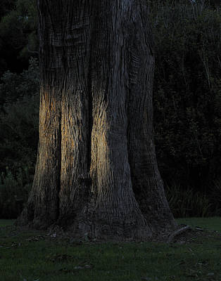 Photograph - Sunlight On Treetrunk by Barry Culling