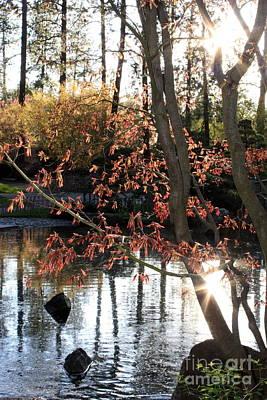 Photograph - Sunlight Through Japanese Maple by Carol Groenen