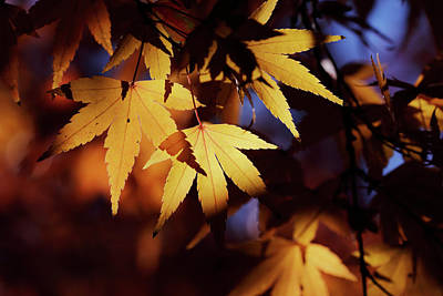 Photograph - Sunlight Through Leaves by Nicholas Blackwell