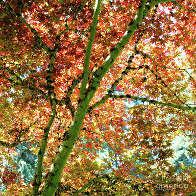 Photograph - Sunlight Through Maple Leaves by Carol Groenen