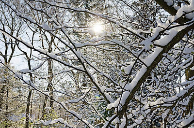 Photograph - Sunlight Through Snowy Branches by Marianne Campolongo