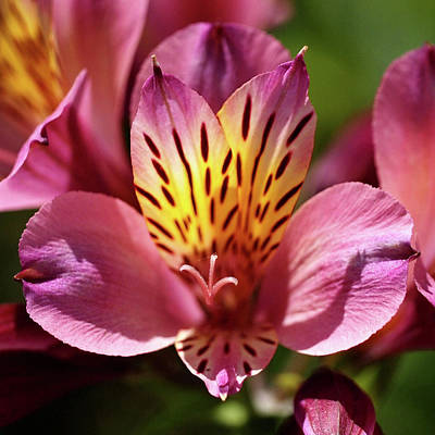 Photograph - Sunlit Alstroemeria by Rona Black