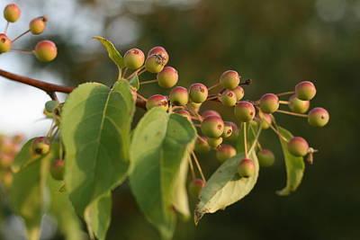 Photograph - Sunlit Apple Tree by Bonnie Boden