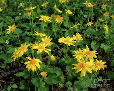 Photograph - Sunlit Arnica by Roxie Crouch