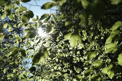 Photograph - Sunlit Beech Leaves Spring Season by Martin Stankewitz
