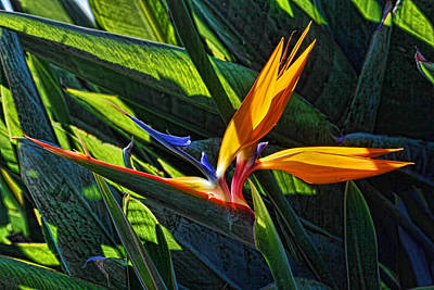 Photograph - Sunlit Bird Of Paradise by HH Photography of Florida