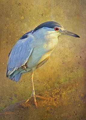 Photograph - Sunlit Black-crowned Night Heron by HH Photography of Florida