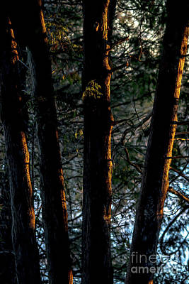 Photograph - Sunlit Cedar Trunks by Cheryl Baxter