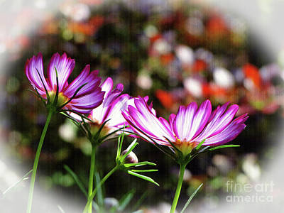Photograph - Sunlit Cosmos by Sue Melvin