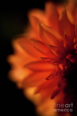 Dahlias Photograph - Sunlit Dahlia by Mike Reid