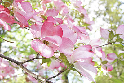 Photograph - Sunlit Dogwood Blooms by Margie Avellino