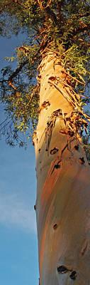 Sunlit Eucalyptus Art Print by Jean Booth
