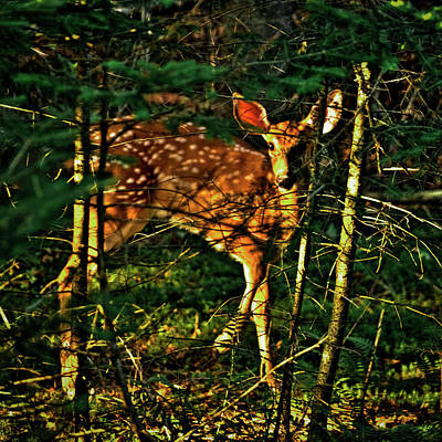 Photograph - Sunlit Fawn by David Patterson