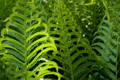Photograph - Sunlit Fern by Mike Evangelist