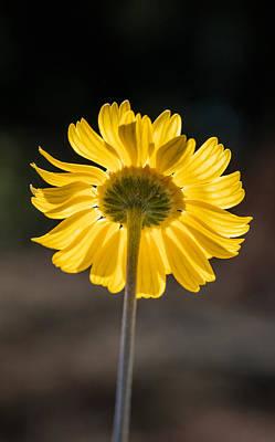Photograph - Sunlit Four-nerve Daisy  by Steven Schwartzman