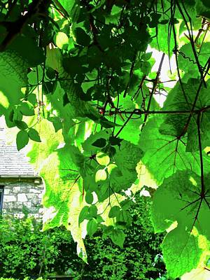 Photograph - Sunlit Grape Leaves by Stephanie Moore