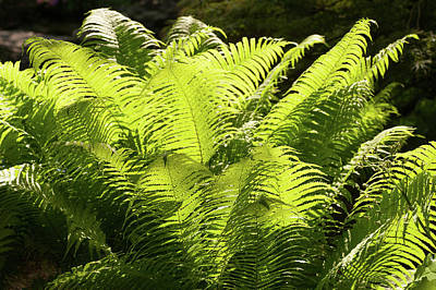 Photograph - Sunlit Green Fern Leaves by Jenny Rainbow