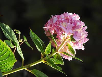 Aloha For Days - Sunlit Hydrangea by Betty-Anne McDonald