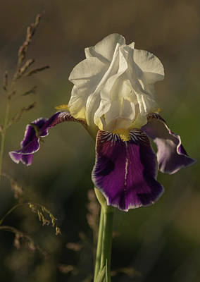 Photograph - Sunlit Iris by Angie Vogel