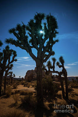 Photograph - Sunlit Joshua Tree #1 by Blake Webster