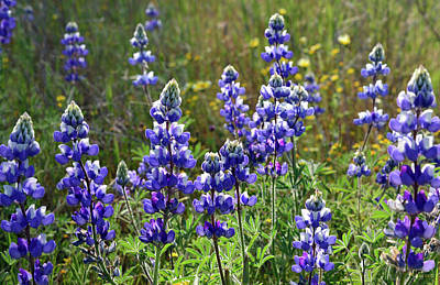 Luis Photograph - Sunlit Lupine by Kathy Yates