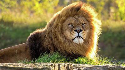 John Brown Photograph - Sunlit Male Lion by John Brown