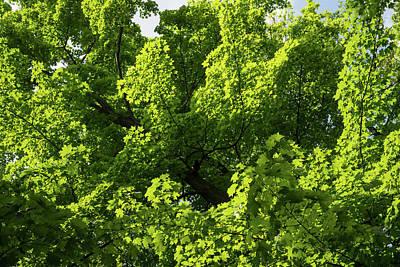 Photograph - Sunlit Maple Leaves Patterns by Georgia Mizuleva