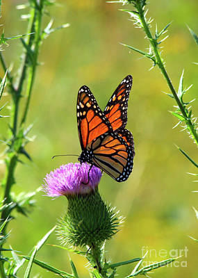 Photograph - Sunlit Monarch  by Paula Guttilla