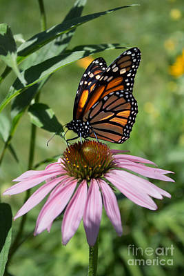 Photograph - Sunlit Monarch Wings by Barbara McMahon