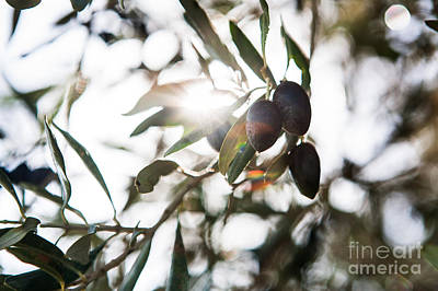 Photograph - Sunlit Olives  by Kaitlyn Suter
