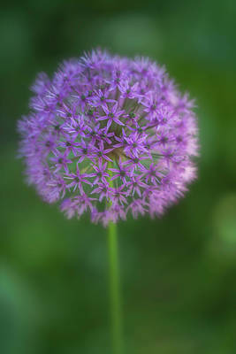 Photograph - Sunlit Ornamental Onion by Jacqui Boonstra