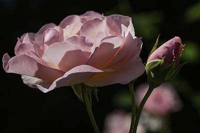 Sunlit Pink Beauty Art Print