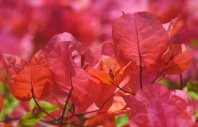 Bright Pink Photograph - Sunlit Pink-orange Bougainvillea by Rona Black